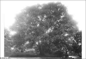 Circa 1912 beneath the Moreton Bay Fig Tree. No copyright restrictions. Source: http://images.slsa.sa.gov.au/mpcimg/45750/B45673_3.htm